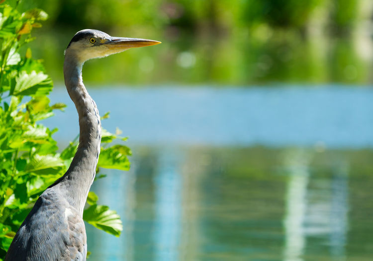 Grey heron on lake