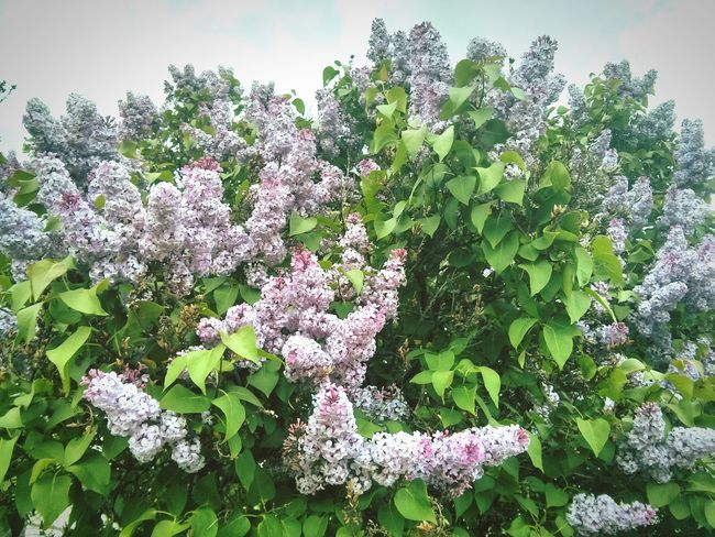 Lilac Flower Lilacs Lilac Tree Lilac Nature No People Outdoor Photography Beautiful Nature Daytime Nature Photography Natural Life Inspiring Flowers Floral Bush Bushes And Flowers Beauty Beauty In Nature Life Bloom In Bloom Wilderness Urban Wilderness Pretty