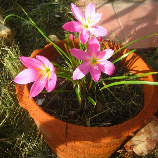 Flowers,Plants & Garden Flowers, Nature And Beauty Flowers Pink Flowers Rain Lily Best Shots Nature Garden Fairy Lilly
