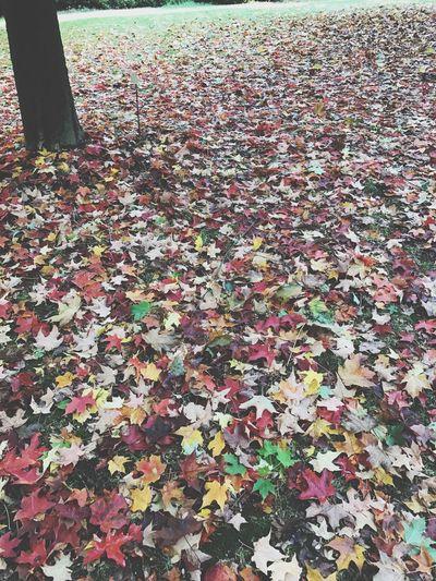 Autumn Leaf Multi Colored Nature Fallen Day Maple Leaf Maple