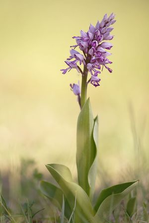 Orchis militaris, wild Orchid Beauty In Nature Botany Close-up Day Field Flower Flower Head Flowering Plant Focus On Foreground Fragility Freshness Growth Inflorescence Nature No People Outdoors Petal Plant Purple Selective Focus Vulnerability
