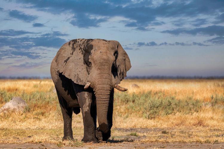Elephant on field against cloudy sky