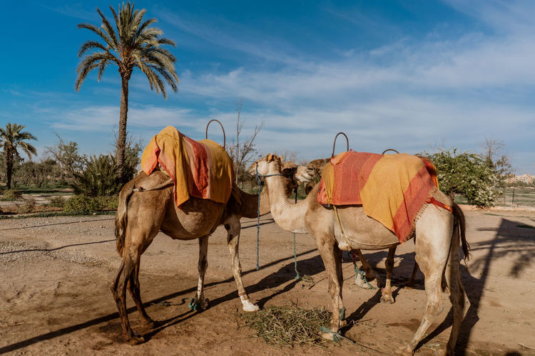 Marrakesh Marrakech Morocco Travel Destinations Tourist Destination Travel Photography Travel Domestic Animals Mammal Working Animal No People Livestock Domestic Animal Themes Pets Group Of Animals Outdoors Camel Tree Sky Animal Plant Palm Tree Sand Herbivorous Sunlight