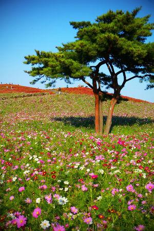 2014 Autumn Beauty In Nature Cosmos Day Field Flower Hitachi Seaside Park Landscape Nature Outdoors Plant Scenics Sky Tree コスモス コスモス畑 国営ひたち海浜公園 花畑 茨城