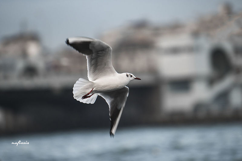 Turkey Istanbul Bird Sea Nafissis Sky Fly