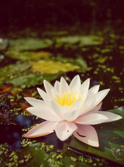 Flower Petal Fragility Flower Head Nature Beauty In Nature Water Lily Freshness Leaf Growth No People Outdoors Day Close-up Pollen Floating On Water Plant Water Blooming Lake