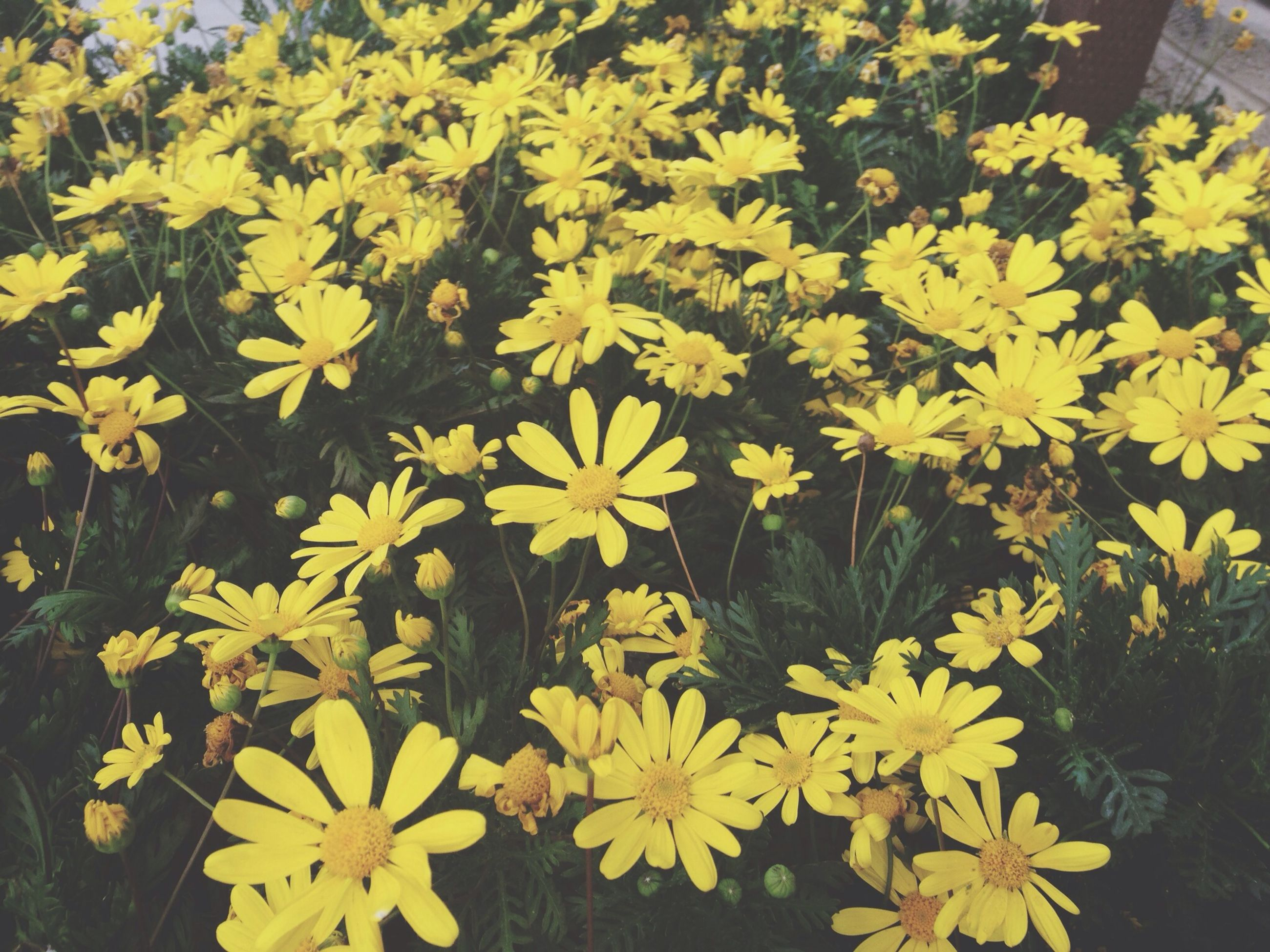 flower, yellow, freshness, growth, petal, fragility, beauty in nature, nature, high angle view, plant, blooming, flower head, abundance, in bloom, day, outdoors, no people, park - man made space, field, leaf