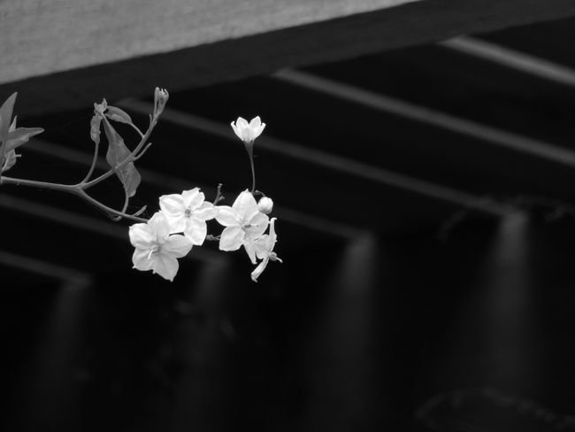 Potato Vine Plants Black And White Wooden Texture Light And Shadow Light Nature Fragility Day Pattern Blackandwhite In My Garden