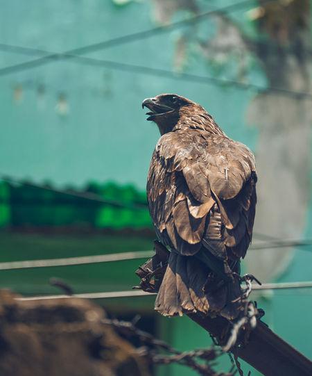 Close-up portrait of an indian black kite bird.