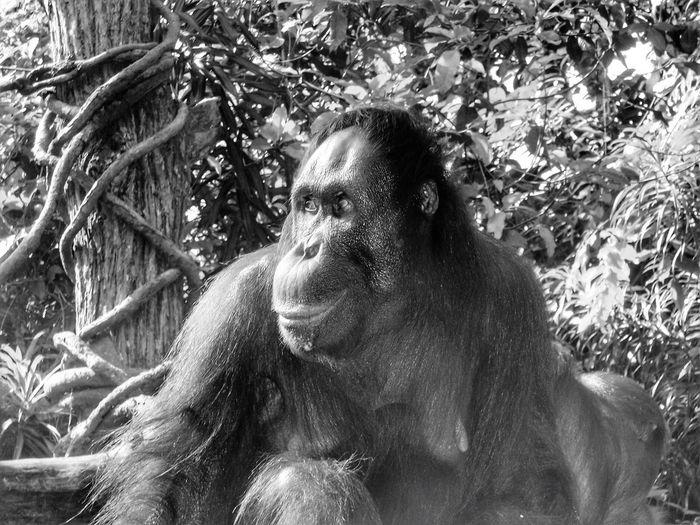 Orang Utan Nature_collection Travel Photography Taking Photos Apes BW Collection Nature Photography Animal Photography