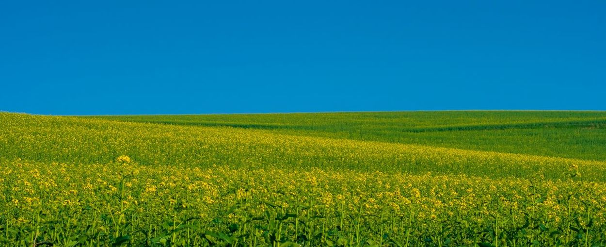Field Landscape Beauty In Nature Sky Land Growth Environment Clear Sky Rural Scene Tranquility Plant Copy Space Tranquil Scene Scenics - Nature Nature Blue Agriculture Green Color Yellow Day