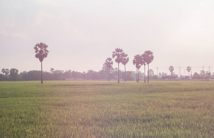 Agriculture Beauty In Nature Day Field Grass Growth Landscape Nature No People Outdoors Rice Field Rice Paddy Rural Scene Scenics Sky Sugar Palm Tranquil Scene Tranquility Tree