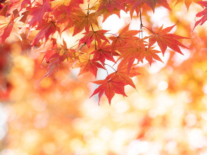 Autumn Change Leaf Plant Part Maple Leaf Orange Color Branch Tree Plant Maple Tree No People Nature Beauty In Nature Selective Focus Close-up Red Day Backgrounds Leaves Outdoors Natural Condition Autumn Collection