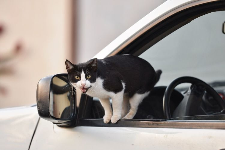 Cat Pets Domestic Cat Feline Domestic Animal Themes Domestic Animals One Animal Black Color Car Motor Vehicle No People Whisker