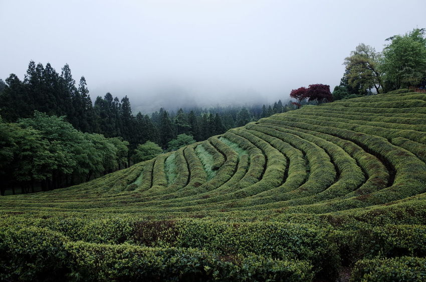 green tea forest
