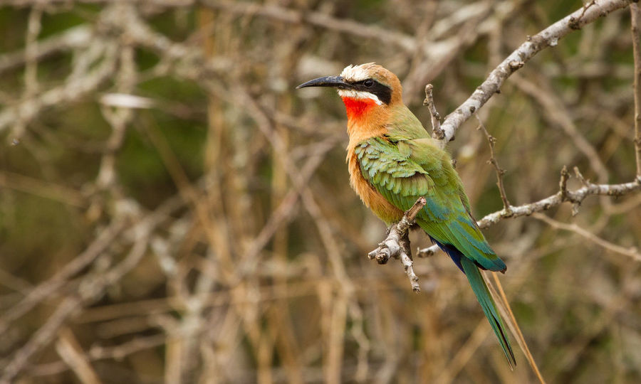 White fronted bee eater Bird Photography Colours Africa Animal Themes Animal Wildlife Beauty In Nature Bee Eater Bird Bird On A Branch Close-up Feather  Focus On Foreground Little Bird Perching Wings