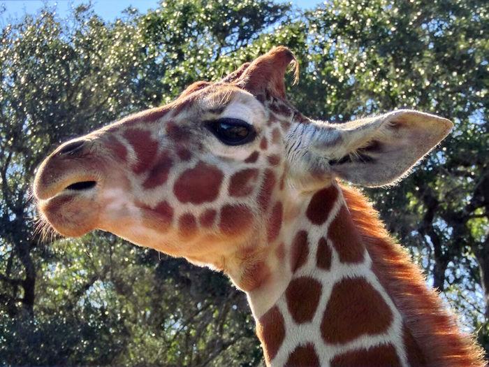 Animal Head  Animal Themes Animal Wildlife Animals In The Wild Close-up Day Giraffe Mammal Nature No People One Animal Outdoors Safari Animals Tree