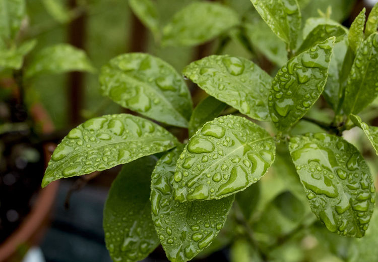 Summer rain Beauty In Nature Dew Drop Green Color Growth Leaf Leaves Mint Leaf - Culinary Nature No People Outdoors Plant Plant Part Rain RainDrop Rainy Season Selective Focus Water Wet