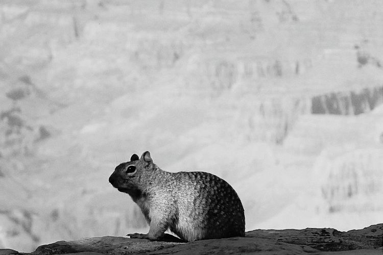Black And White Grand Canyon Squirrel On The Edge Grand Canyon National Park Grand Canyon Nature