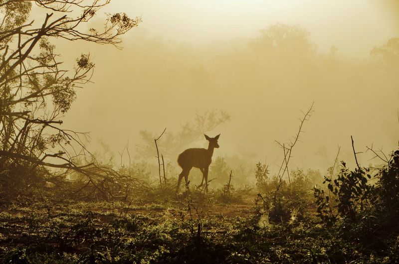 Deer at dawn Animal Animal Themes Mammal Tree Plant Animal Wildlife Vertebrate Land Fog Nature Animals In The Wild Field One Animal Sky Environment No People Landscape Forest Outdoors Herbivorous Deer Morning Light Animal Outline Animal Silhouette Dawn Capture Tomorrow EyeEmNewHere