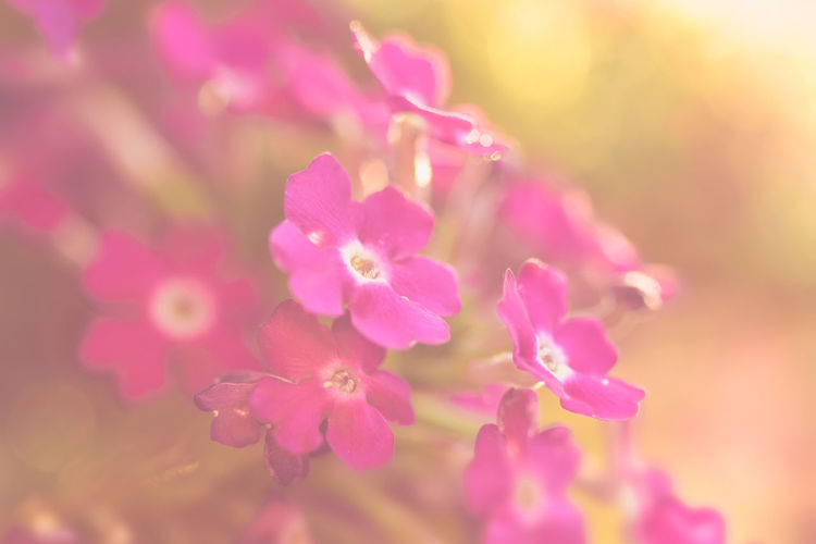 6 in the morning Light Macro Photography Morning Morning Light Nature Beauty In Nature Blooming Blossom Close-up Flower Flower Head Flowering Plant Flowers Garden Garden Photography Growth Macro Nature Outdoors Petal Pink Color Plant Purple Softness Springtime