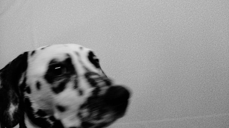 Dalmatian Blackandwhite ダルメシアン