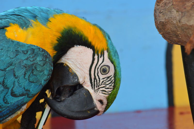 Animal Themes Animal Animal Wildlife Animals In The Wild Vertebrate Close-up One Animal Parrot Focus On Foreground Bird No People Macaw Day Nature Animal Body Part Beauty In Nature Beak Animal Head  Outdoors Zoology