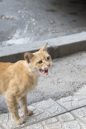 Ginger cat shouting outdoors