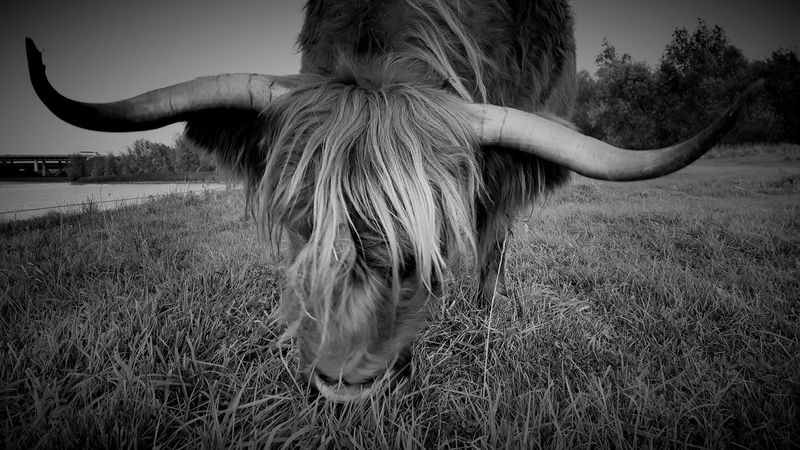 Schotse Hooglander in de Nederlanden Schotse Hooglanders Highlander Cow Highlandercow Wildlife Animalportraits Bnwportraits Bnw EyeEmNewHere Lost In The Landscape