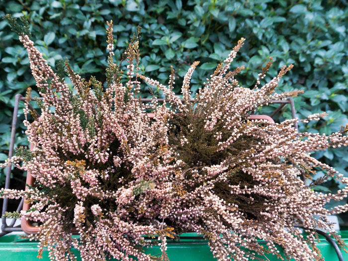 Beauty In Nature Calluna Coral Corals Erica Flower Garden Garden Flowers Garden Photography Green Green Color Growth Hedge Jar Like Coral Nature No People Pink Pink Color Plant Plants Plants And Flowers Plants 🌱 Pot Rose Color