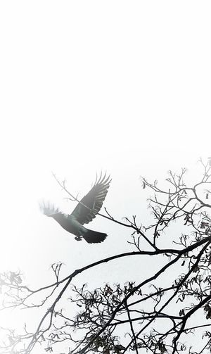 Animal Body Part AntiM Bare Tree Bird Day Flying Mid-air Motion No People One Animal Outdoors Spread Wings