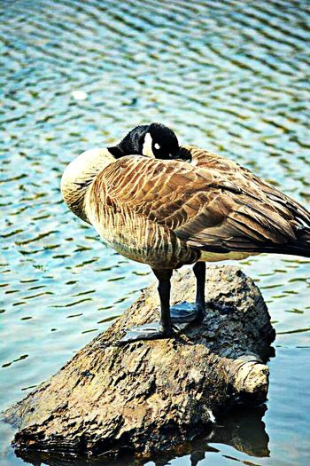 Bird One Animal Animals In The Wild Animal Themes Water Animal Wildlife Day Lake Nature No People Outdoors Perching Close-up EyeEmNewHere Eyeemphotography Ducks At The Lake Duck Photography Duck Goose Photography Themes Beauty In Nature Pond Park Scratches Scratching