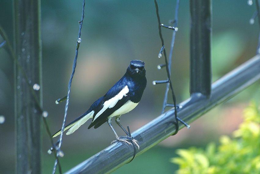 magpie robbin Kandy Sri Lanka EyeEm Birds Magpie Robin Perching Bird Insect Animal Themes Close-up Green Color