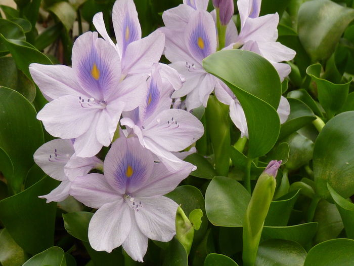 Common Water Hyacinth,Water Hyacinth Common Water Hyacinth Water Hyacinth Bloom Water Hyacinth Aleq Beauty In Nature Botany Close-up Day Flower Flower Head Flowering Plant Fragility Freshness Growth Inflorescence Leaf Lilac Nature No People Outdoors Petal Plant Plant Part Pollen Purple Vulnerability  Water Hyacinth Flower