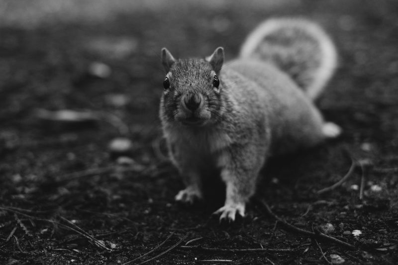 Squirrel Animals In The Wild FUJIFILM X-T1 Squirrel Wildlife & Nature Wildlife Photography Animal Themes Animals In The Wild Animalsofinstagram Black And White Collection  Blackandwhite Blackandwhite Photography Forest Fujifilm_xseries Fujixseries Looking At Camera Mammal One Animal Outdoors Squirrel Closeup Squirrels Wildlife Wildlife And Nature