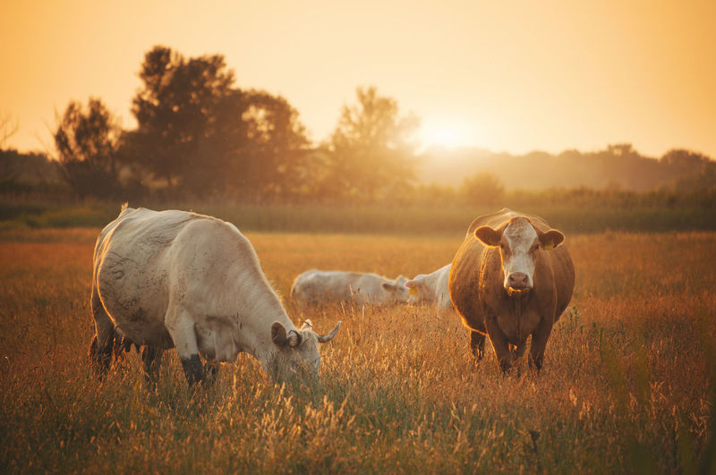 Cows on grassy field during sunset