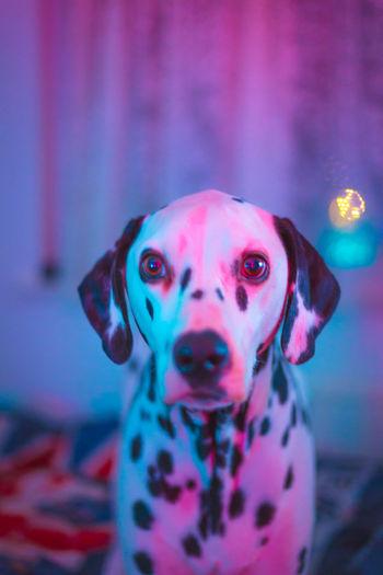Snowflake the dalmatian Dalmatianlovers Dalmata Dalmatiansofinstagram Dalmatian_feature Snowflakethedalmatian Dogsofinstagram Cute Vscocam Vscogood Vscodog Dalclub Instadogs EyeEm Best Shots EyeEm Gallery EyeEm Selects EyeEmBestPics Lightroom Heart Heart ❤ Love
