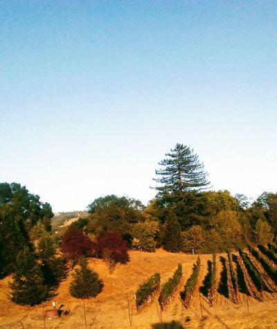 Boonville california Vinyardsunset Beauty In Nature Sky Nature Tree Outdoors Day Animal Themes Scenics
