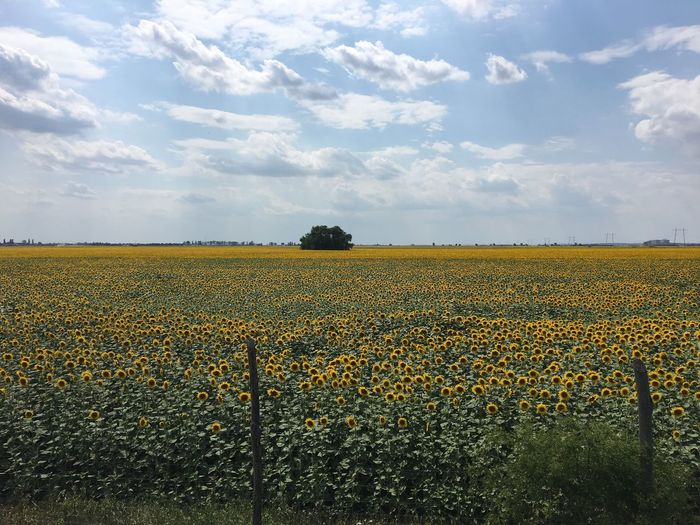 EyeEm Selects Field Beauty In Nature Agriculture Nature Tranquility Landscape Tranquil Scene Rural Scene Growth Day Yellow Sky Scenics Cloud - Sky Flower Outdoors No People Sunflowers Sunflowers Field Endles Sunflowers Motoway Ontheway Breathing Space