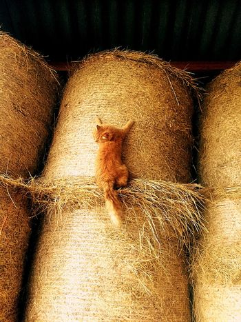 Just checking if you're still behind me Cat Flying Climbing Animals FUNNY ANIMALS Hay Farm Farm Life Redhair Careful