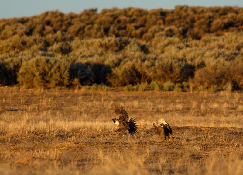 Sage grouse lek Utah Southern Utah  Wildlife Bird Photography Flying Bird Animal Themes Animal Sage Grouse Sage Grouse Lek Greater Sage Grouse Grass
