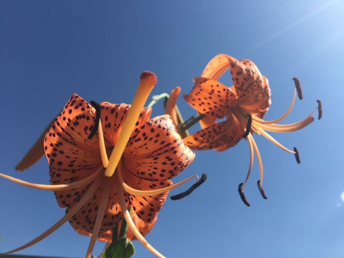 Two Is Better Than One Flowers Tiger Flowers Botany Daylight Daytime Daytime Photography Sky Blue Sky Beams Of Light
