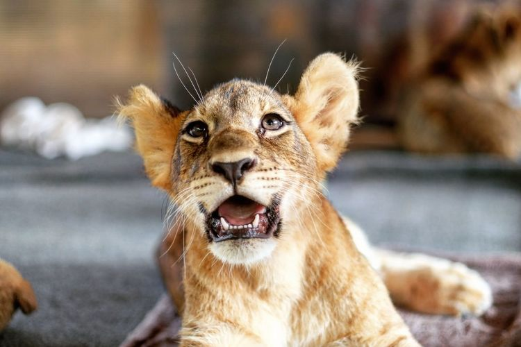 Enjoy The New Normal No People One Animal Outdoors Day Close-up Lion Cub EyeEm Best Shots Taking Photos Mouth Open Lion Animal Head  Zoo Animals  4-month-old Lion Cup
