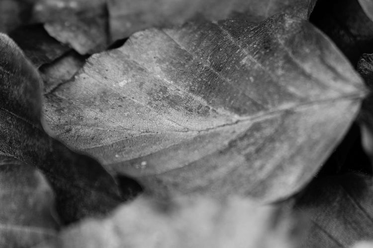 #firstpicture #FirstEyeEmPicture #EyeEmNewHere #blackandwhite #beauty Leaf Nature Autumn Close-up No People Backgrounds Fragility Beauty In Nature Outdoors Day Freshness