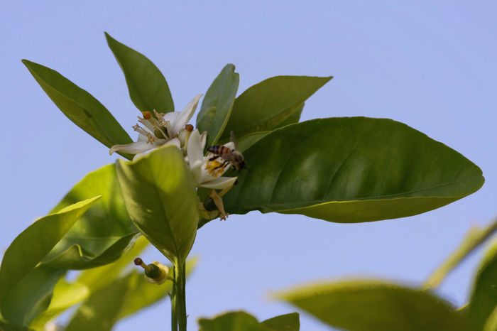 Orange Tree Blossom Beauty In Nature Bees And Flowers Blooming Blossom Close-up Day Focus On Foreground Green Color Green Color Growth Leaf Low Angle View Nature No People Orange Blossoms Orange Tree Outdoors Plant Pollen Pollenation Selective Focus Sky Stem Tree Wildlife
