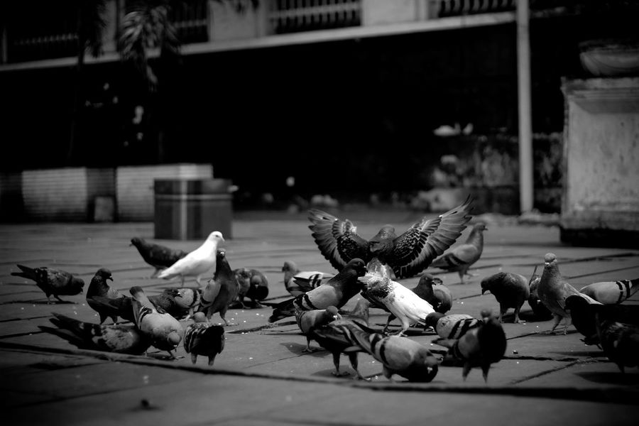 a bunch of birds are eating INDONESIA Animal Animal Themes Animal Wildlife Animals In The Wild Architecture Bird City Day Eating Flock Of Birds Footpath Group Of Animals Indonesia_photography Indonesian Photographers Collection Kotatuajakarta Large Group Of Animals Museumfatahillah Nature No People Outdoors Pigeon Selective Focus Street Vertebrate