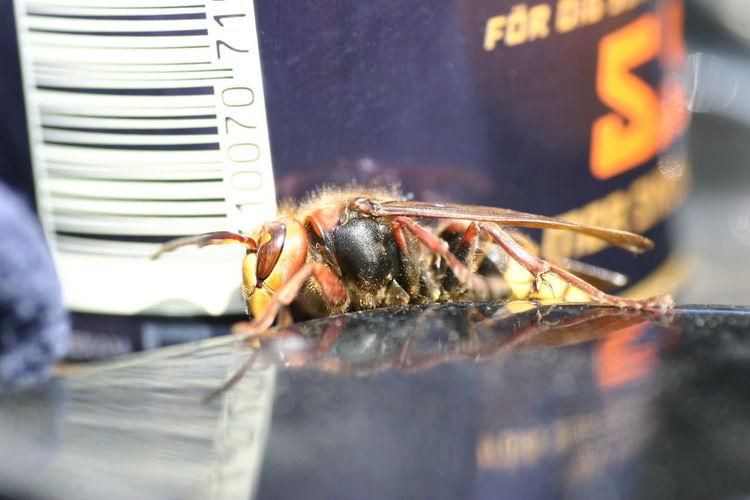 Macro shot of hornet on object