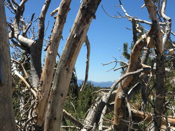 Tahoe unfiltered...... Plant Sky Tree Nature Growth No People Day Low Angle View Clear Sky Tranquility Trunk Tree Trunk Beauty In Nature Cactus Blue Sunlight Outdoors Succulent Plant Land Branch