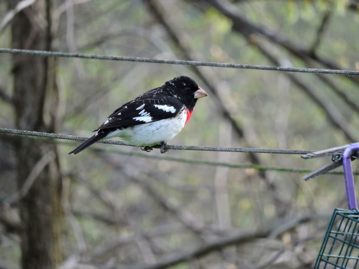 Rose Breasted Grosbeak One Animal Vertebrate Animal Themes Animal Animal Wildlife Bird Animals In The Wild Perching Focus On Foreground No People Day Tree Plant Nature Branch Outdoors Black Color Metal Songbird  Starling