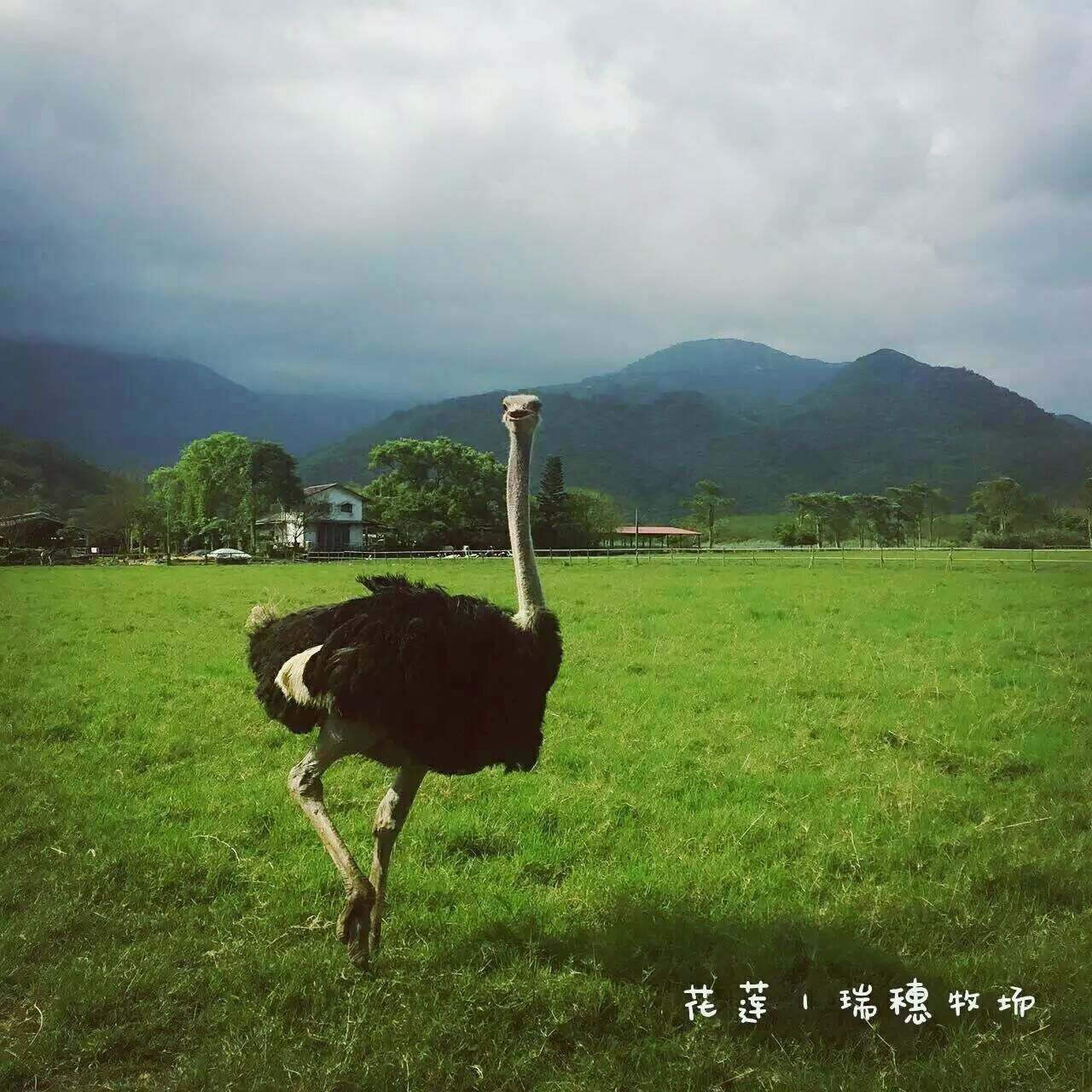 grass, nature, field, animal themes, green color, landscape, outdoors, day, cloud - sky, no people, mountain, one animal, sky, beauty in nature, bird, ostrich, scenics, animals in the wild, tree